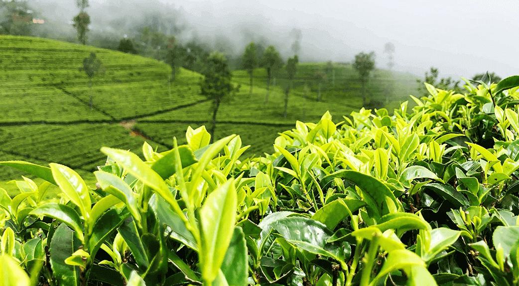 Origine du thé