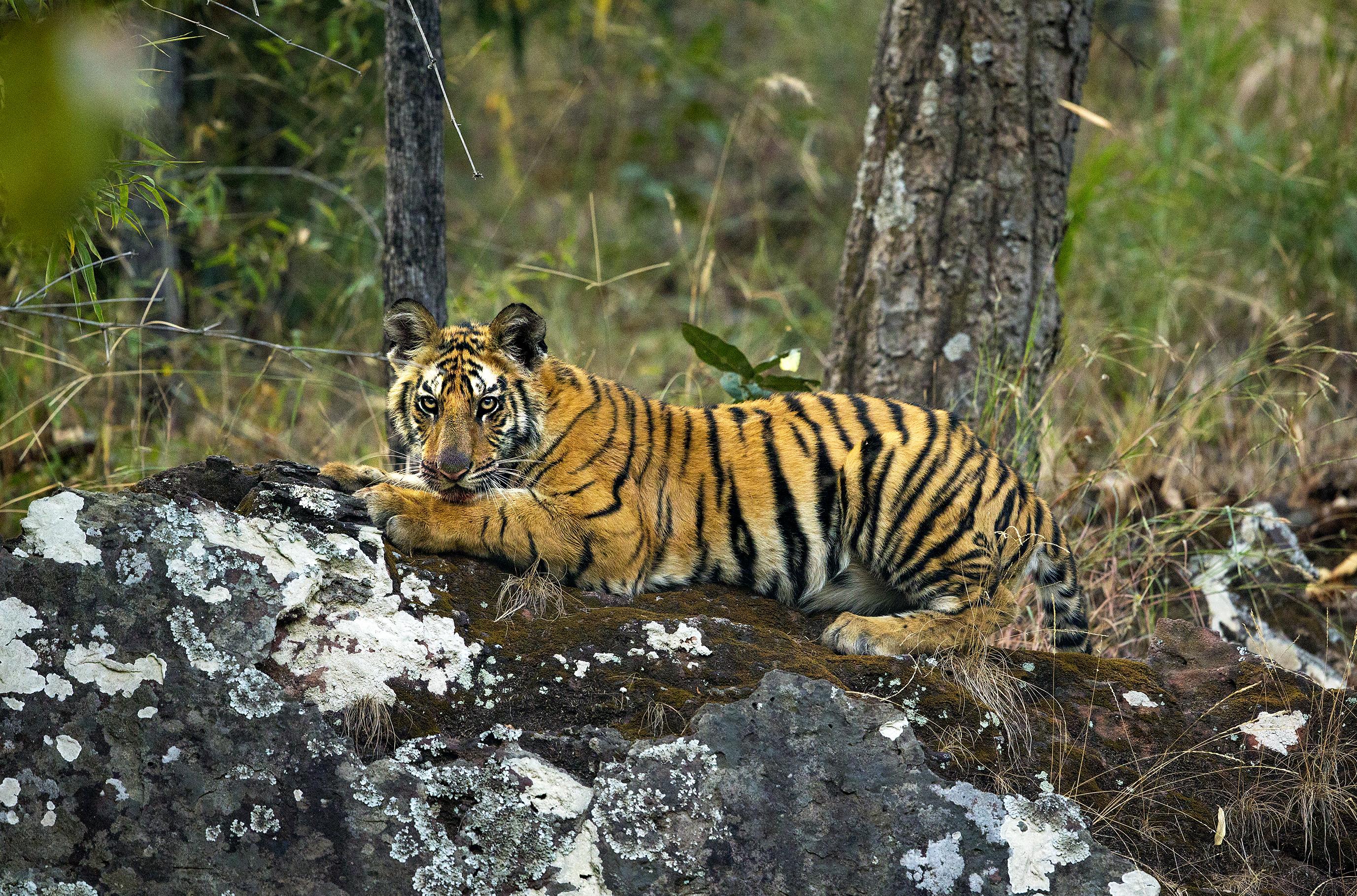 tigre allongé sur la roche