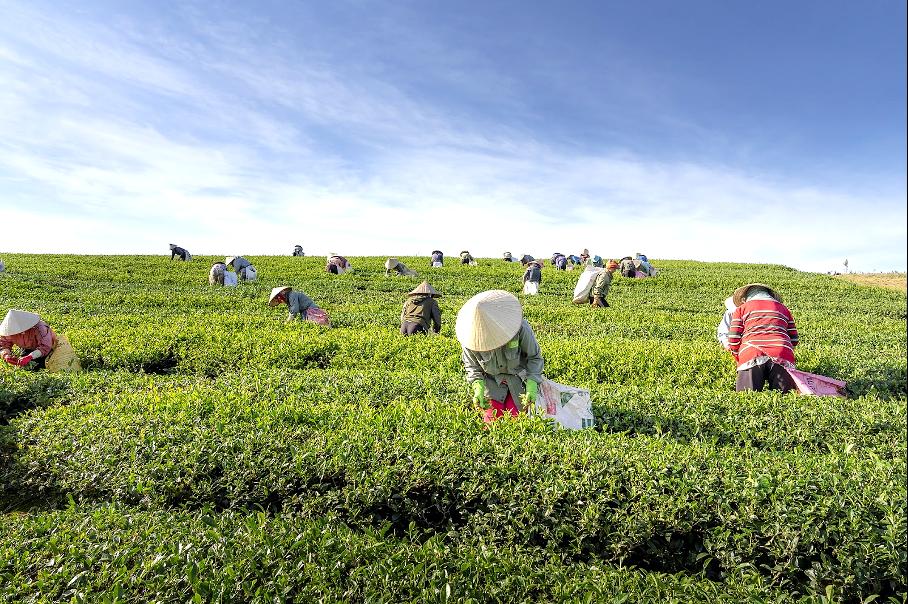 plantation et rammage de thé